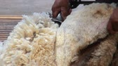 sheepskin : Sheep shearing - Traditional - Sheep shearing is the process by which the woollen fleece of a sheep is cut off Patagonia - Argentina
