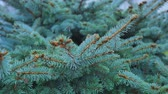 nettle : close-up of green fir branches, full frame Stock Footage