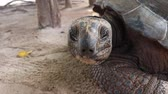 plazit se : A Giant tortoises breathing motion while looking into camera.