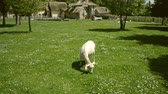 marlborough : Goat grazing in the meadow in Versailles, in the Hameau de la Reine - the rustic retreat in the park of Chateau de Versailles, built for Marie Antoinette in 1783 near the Petit Trianon in the Yvelines, France.