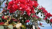 nicaragua : Rampant Bougainvillea flower in Beautiful Mediterranean garden - slow motion pan. It is also named as Paper Flower