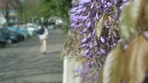 wisteria : Silhouette of walking woman seen through  wisteria flower in bloom - cyclist on bike lane - happy spring in the city Stock Footage