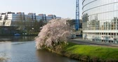 turistler : European  Parliament building with peaceful sakura cherry blossom trees in Strasbourg, France Stok Video