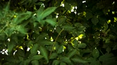 energia solare : Beautiful light-flare sunlight seen through green vivid branches of a tree in the evergreen forest