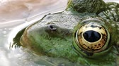 kurbağa : Beautiful frog with detailed close-up of the blinking eye in rainforest hiding in water - animal protection and environmental conservation
