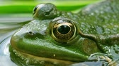 реклама : Macro view of frog with detailed close-up of the blinking eye in rainforest hiding in water - animal protection and environmental conservation green vivid colors in 4k UHD video