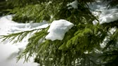 north star : Fresh snow on the fir branch tree in German green forest in Baden-Wurttemberg Black forest