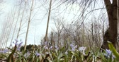 soğanlı : Spring forest with Scilla bifolia multiple flowers, low angle view toward trees environment protection 4k video forest