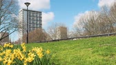 westminster : Gaydon House in London with narcissus daffodils and green grass lawn Stock Footage