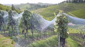 netting : Rows of grape vines protected with bird netting in German wineyard - beautiful countryside landscape. in the background