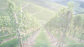 сумма : Cinematic sunlight flare over tilt-shift lens used over tractor silhouette working on the grape fields harvesting the autumnal fresh vine in the vineyard rows transporting to warehouse fresh fruits - above view