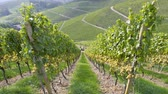 виноградник : Tilt-shift miniature effect with real lens used over tractor silhouette working on the grape fields harvesting the autumnal fresh vine in the vineyard rows transporting to warehouse fresh fruits - above view Стоковые видеозаписи