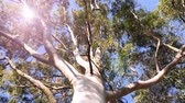 eukaliptus : View from below to the green large canopy of an eucalyptus tree - 4K UHD footage featuring nature preservation, enviromental sustainability and climate change sunlight flare Wideo