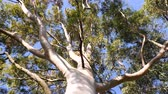 tronco : Cinematic view from below to the green large canopy of an eucalyptus tree - 4K UHD footage featuring nature preservation, environmental sustainability and climate change