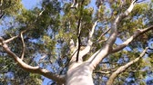 eukaliptus : View from below to the green large canopy of an eucalyptus tree - 4K UHD footage featuring nature preservation, environmental sustainability and climate change slow wind moving leaves Wideo