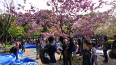 сливы : Man take girls photo under pink cherry tree at Ueno park, Tokyo