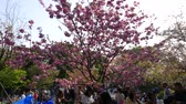 szilva : Japanese walking and sitting around sakura trees, hanami celebration Stock mozgókép