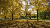 вперед : Park or Forest with Yellow Maple Trees at Sunny Autumn Day. Camera is Moving Forward. Steadicam Shot. Slow Motion. Sun is Shimmering Through Trees Стоковые видеозаписи