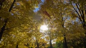 klon : Falling Leaf and Yellow Maple Trees in Autumn Park at Sunny Day. Blue Sky. Slow Motion Wideo