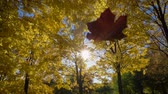 raggi sole : Falling Leaf and Golden Yellow Maple Trees in Autumn Park at Sunny Day. Blue Sky. Slow Motion