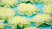 изолированный : ROTATION: A flowers are rotating on a blue background. Top view Стоковые видеозаписи