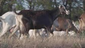 field : Herd of goats on nature pasture. Wildlife and ecology.