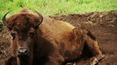 копытное : American Bison resting on ground because of a very hot day.