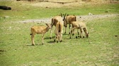 копытное : Complete Family of Cape Eland forming a small herd !