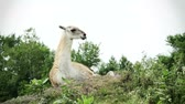 andy : White Guanaco on top of the mountain. - Camera is spinning around.