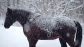 pretty : Horses Outdoor during a Cold Winter Blizzard