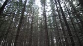 coniferous trees : Tilting Footage of a Mature Spruce Tree Plantation Stock Footage