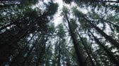 kürek çekme : Looking up to the Tip of a Mature Spruce Tree Plantation from Bellow Stok Video