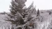 geada : Aerial Video of a Big Mature Pine Tree during Winter after a snowfall