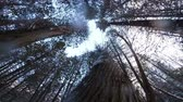 Impressive Slow Motion POV Footage of a Tree Falling down during Winter