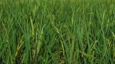 field : close up of Rice spike in the paddy field Stock Footage