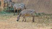 wild : Zebras eating grass on the ground