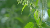 pokrzywa : The bush of the young nettle is swaying in the wind. The sun is beautifully illuminates the leaves. Its time to prepare nettles for medical and other purposes. Sunny summer evening.
