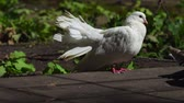 stupínek : Two beautiful white pigeons communicate with each other. They extended their tails to show each other their beauty. Sunny summer morning in the park. Dostupné videozáznamy