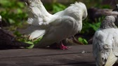 stupínek : A beautiful white dove cleans its feathers and wings. A flock of domestic pigeons on vacation. They are bask in the sun and clean their feathers and wings. Sunny summer morning in the park.
