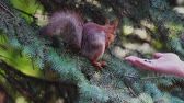 kürk : A squirrel sits on branches and eats sunflower seeds from a human hand. Stok Video