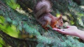 ель : A squirrel sits on branches and eats sunflower seeds from a human hand. Стоковые видеозаписи