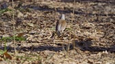 kismadár : Bird thrush galloping on the ground covered with dry leaves. Thrush moves and leaves under water leaves. Sunny spring day.