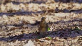 kismadár : Bird thrush galloping on the ground covered with dry leaves. Sunny spring day.