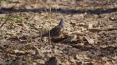 ornitoloji : Bird thrush galloping on the ground covered with dry leaves. Thrush moves and leaves under water leaves. Sunny spring day.