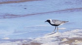 ornitoloji : White-black bird gray plover (Pluvialis squatarola) walks along the sandy shore. A strong wind rolls in waves. Sunny summer morning.