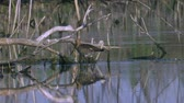 ornitoloji : Bird marsh sandpiper walking Sunny summer morning in the swamp. Stok Video