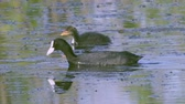 ornitoloji : A coot bird swims in a lake, searches for edible algae, eats and its chicks. Sunny summer morning. Stok Video