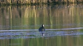 chmýří : A coot bird swims in a lake. A coot is looking for and eating them. Summer sunny morning. Close-up.