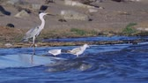 heron : Watering fish rests after a successful hunt for fish. The waves roll on the sandy shore. Sunny wind morning.