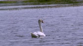 hattyú : A large white bird wild swan swims in a lake. Summer morning